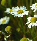 Scentless chamomile (Tripleurospermum inodorum). Photo: Magnus Manske, Creative Commons