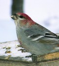 Male Pine Grosbeak. Photo: Mark Phinney